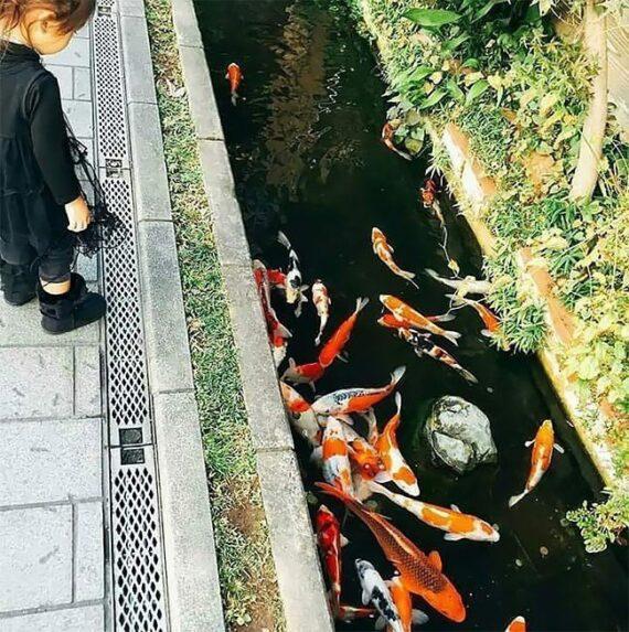 Сливные каналы в Японии настолько чистые, что в них водятся карпы